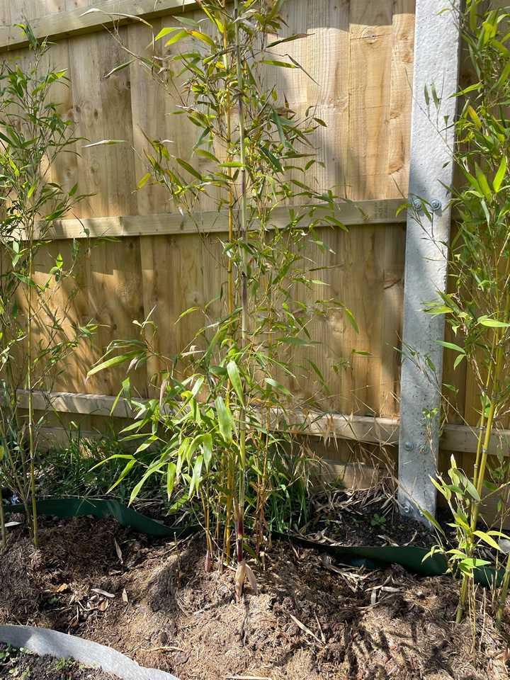 Fast Bamboo Growth Week 4
